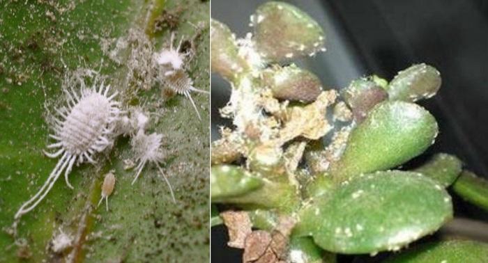 Вот почему вянут и опадают листья у толстянки. Советы опытного садовода!