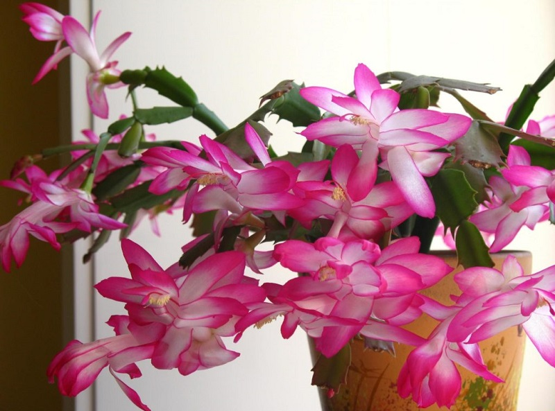 Как заставить декабрист цвести и чем подкормить в ноябре