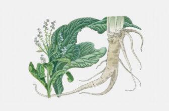 Растирка из листьев хрена при болях в спине и суставах